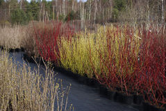 Cornus stolonifera ` Flaviramea ` i Cornus ` Sibirica ` alba rośliny Zdjęcia Stock