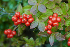 Cornus suecica - Bunchberry Stock Images