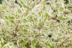 Cornusalbum Argenteomarginata, cornaceae-, vit- och gräsplansidor royaltyfri fotografi