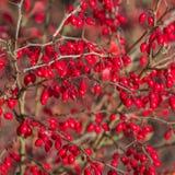 Cornusfrukt Skogskornellbär hänger på en filial av skogskornellträdet Cornel karneol Cherry Dogwood arkivfoto