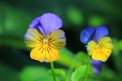 Cornuta à cornes de Violet Viola Image stock
