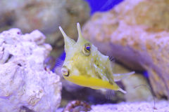 cornuta cowfish lactoria łacińskie longhornu imię Zdjęcia Stock