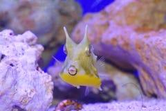 cornuta cowfish lactoria łacińskie longhornu imię Zdjęcie Stock