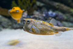 cornuta cowfish lactoria łacińskie longhornu imię Fotografia Stock