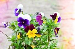 Cornuta da viola - violeta horned em um potenciômetro Imagem de Stock