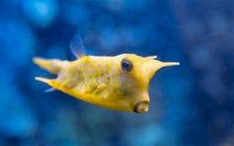 Cornuta de Lactoria de poissons Image stock