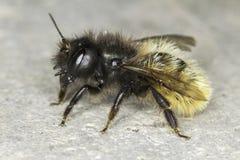 Cornuta de Osmia/primer de la abeja del solitario Fotografía de archivo