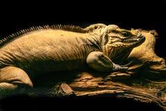 Cornuta di Cyclura dell'iguana del rinoceronte sopra un tronco di legno immagini stock libere da diritti