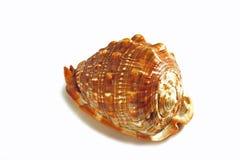 Cornuta do cássis - escudo enorme do caracol de mar isolado no fundo branco fotos de stock
