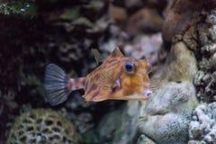 Cornuta ordinário horned um de Lactoria da carroçaria dos peixes os mais divertidos que vivem nas águas mornas do pacífico e indi fotografia de stock
