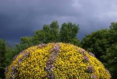 Cornuta Viola, κερασφόρος pansy, σχηματισμένος τούφες pansy στοκ εικόνα με δικαίωμα ελεύθερης χρήσης