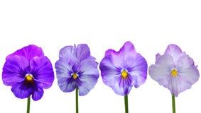 cornutaen blommar violaen Royaltyfri Bild