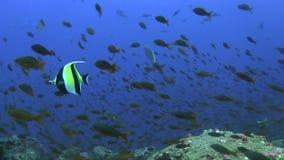 Cornutus moro de Zanclus del ídolo en sopa de los pescados en las islas de las Islas Galápagos del Océano Pacífico, almacen de video