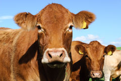 cornwall krowa Obraz Royalty Free