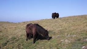 Cornwall kustscène met wilde poneys stock footage