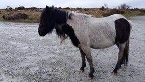 Cornwall lösa ponnyer arkivbild