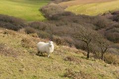 Cornwall-Landschaft England Großbritannien mit einem Schaf auf einem Gebiet Stockbilder