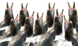 Coro de pingüinos Imágenes de archivo libres de regalías