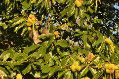 Coroa cinzenta da castanha do esquilo Imagem de Stock Royalty Free