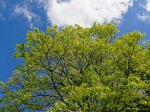 A coroa com mola verde fresca folheia de uma árvore de grande bordo imagens de stock royalty free