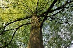A coroa da árvore Fotos de Stock