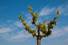 A coroa da árvore com jovens sae na primavera fotos de stock