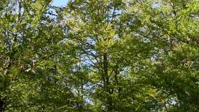 Coroa da árvore no outono video estoque