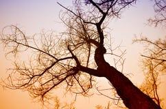 Coroa da árvore no sol da noite do inverno Fotografia de Stock
