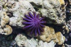 Coroa da estrela do mar dos espinhos foto de stock royalty free