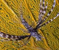 Coroa da estrela do mar dos espinhos Fotos de Stock Royalty Free