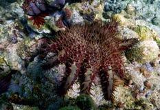 Coroa da estrela do mar dos espinhos Imagens de Stock Royalty Free