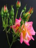 Coroa das rosas Imagens de Stock Royalty Free