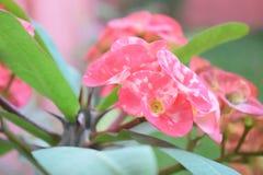 Coroa de christ da flor no jardim imagem de stock