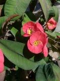 Coroa de espinhos Foto de Stock Royalty Free