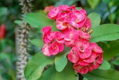 Coroa de espinhos ou da florescência da flor de Milii do eufórbio foto de stock