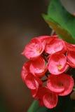 Coroa de espinhos vermelha Imagem de Stock