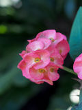 A coroa de flores dos espinhos ou de milli do eufórbio floresce Fotografia de Stock