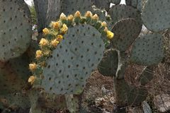 Coroa de flores de florescência do cacto imagem de stock royalty free