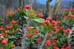 Coroa de Milii do eufórbio da planta suculento dos espinhos com a haste cravada longa e as flores de florescência vermelhas imagem de stock