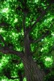 Coroa de uma árvore Fotos de Stock