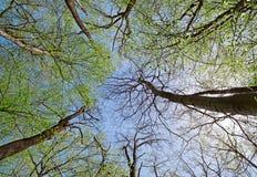 Coroa do árvores na floresta deciduous (da folha) fotografia de stock