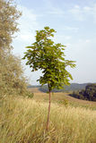 Coroa do close up verde novo da árvore de bordo Fotos de Stock
