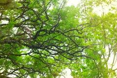 Jacaranda Fotografia de Stock Royalty Free