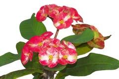 Coroa--espinhos ou flor de Christ Fotografia de Stock