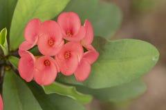 Coroa vermelha da flor dos espinhos imagens de stock