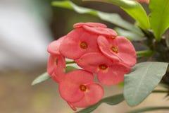 Coroa vermelha da flor dos espinhos imagem de stock