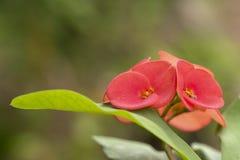 Coroa vermelha da flor dos espinhos imagens de stock royalty free