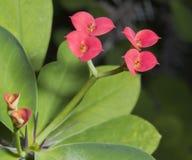 Coroa vermelha e verde impressionante de Thorn Cactus Bloom Fotos de Stock Royalty Free