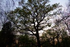 Coroas da árvore Imagem de Stock