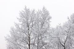 Coroas da árvore no inverno Fotos de Stock